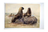 Pantagonian Sea Lions, C.1865 Giclee Print by Joseph Wolf
