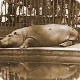 Obaysch the Hippopotamus, London Zoo, 1852, by Don Juan, Comte De Montizón Photographic Print