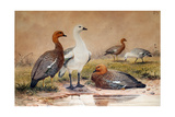 Upland Goose (Bernicla Magellanica), 1852-54 Giclee Print by Joseph Wolf
