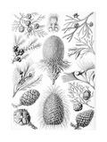 Examples of Coniferae from 'Kunstformen Der Natur', 1899 Giclee Print by Ernst Haeckel