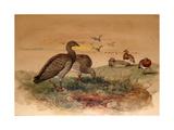 Ashy-Headed Goose (Chloephaga Poliocephala), 1852-54 Giclee Print by Joseph Wolf