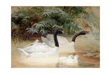 Black-Necked Swan (Cygnus Nigricollis), 1852-54 Giclee Print by Joseph Wolf