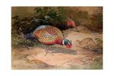 Ring-Necked Pheasant (Phasianus Torquatus), 1852-54 Giclee Print by Joseph Wolf