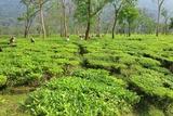 Women Plucking Leaves from Tea Garden, Assam, India Fotografie-Druck