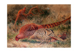 Soemmerring's Pheasant (Phasianus Soemmerringi), 1852-54 Giclee Print by Joseph Wolf