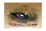 White-Headed Sheldrake (Casarca Leucoptera), 1852-54 Giclee Print by Joseph Wolf