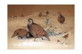 Caspian Snow-Partridge (Tetraogallus Caspius), 1852-54 Giclee Print by Joseph Wolf