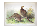 Phasianus Ussuriensis and Phasianus Delocllatus, 1906-7 Giclee Print by Henry Jones