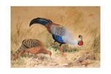 Siamese Pheasant (Euplocamus Praelatus), 1852-54 Giclee Print by Joseph Wolf