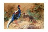 Swinhoe's Pheasant (Euplocamus Swinhoii), 1852-54 Giclee Print by Joseph Wolf