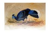 Vieillot's Fireback (Euplocamus Vieilloti), 1852-54 Giclee Print by Joseph Wolf