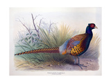 Phasianus Vlangali, C.1896-1921 Giclee Print by Henry Jones
