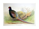 Phasianus Versicolor, C.1896-1921 Giclee Print by Henry Jones
