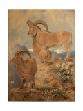 Barbary Wild Sheep Giclee Print by Joseph Wolf