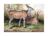 Elands, C.1850 Giclee Print by Joseph Wolf