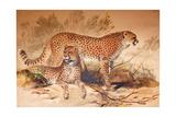 Cheetah, 1851-52 Giclee Print by Joseph Wolf