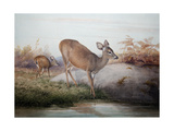 California Deer, C.1850 Giclee Print by Joseph Wolf
