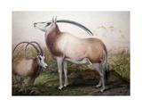 The Leucoryx Antelope, Oryx Leucoryx, C.1850 Giclee Print by Joseph Wolf