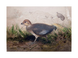 Megapodes, C.1850 Giclee Print by Joseph Wolf