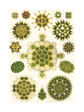 Varieties of Pediastrum from 'Kunstformen Der Natur', 1899 Gicleetryck av Ernst Haeckel