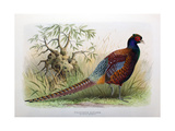 Phasianus Elegans, 1906-7 Giclee Print by Henry Jones