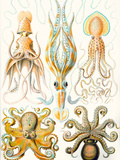 Examples of Various Cephalopods 'Kunstformen Der Natur', 1899 Giclee Print by Ernst Haeckel