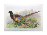 Phasianus Decollatus, 1906-7 Giclee Print by Henry Jones