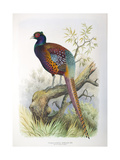Phasianus Strauchi, 1906-7 Giclee Print by Henry Jones