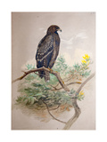 Spotted Eagle (Aquila Clanga), 1856-67 Giclee Print by Joseph Wolf