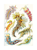 A Collection of Nudibranchia from 'Kunstformen Der Natur', 1899 Giclee Print by Ernst Haeckel