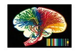 Brain. Nerve Fibers. Memory and Thinking. Drawing. Color Giclee Print