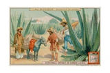 Mexican Extracting Pulque from a Cactus Giclee Print