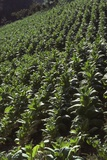 Tobacco Field, Copan Valley, Honduras Photographic Print