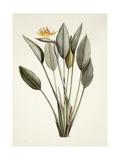 Bird of Paradise; Strelitzia Reginae Giclee Print by Pierre Joseph Redoute