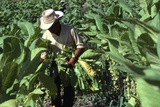 Worker Gathering Tobacco Leaves, Copan Valley, Honduras Photographie