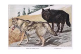 Grey or Timber Wolf Giclee Print by Louis Agassiz Fuertes