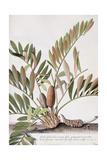 Palma Americana Giclee Print by Georg Dionysius Ehret