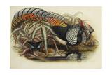 Lady Amherst's Pheasant Reproduction procédé giclée par Henry Constantine Richter