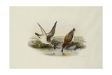 Spoonbill (Spoon-Billed) Sandpiper Giclee Print by Henry Constantine Richter