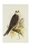 Saker Falcon Giclee Print by Joseph Wolf