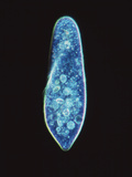 Paramecium Caudatum, Light Micrograph Photographic Print by Laguna Design