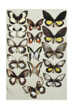 Fifteen Swallowtail Butterflies (Family Papilionidae) in Three Columns Giclee Print by Marian Ellis Rowan