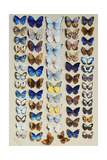 A Packed Plate of Sixty-Two Butterflies, in Five Columns, Mostly Representing Some of the Larger… Giclee Print by Marian Ellis Rowan