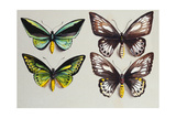 Four Birdwing Butterflies (Family Papilionidae) in Two Columns, Representing Both Sexes of the… Giclee Print by Marian Ellis Rowan