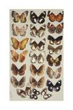 Twenty-Two Butterflies in Three Columns, All Belonging to the Family Nymphalidae Giclee Print by Marian Ellis Rowan