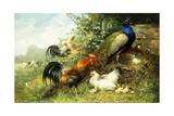 Fowl and Peacocks, 1899 Reproduction procédé giclée par Arthur Fitzwilliam Tait