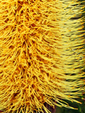 Close-Up of a Banksia in Bloom, Sydney, New South Wales Photographic Print