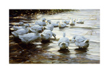 Ducks in Shallow Water Reed; Enten in Flachem Schilfwasser Giclee Print by Alexander Koester