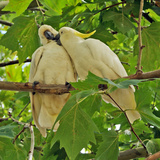 A Male Sulphur Crested Cockatoo Preening His Mate, Sydney, New South Wales Photographic Print