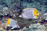Yellowtail Butterflyfish on a Reef Photo by Georgette Douwma